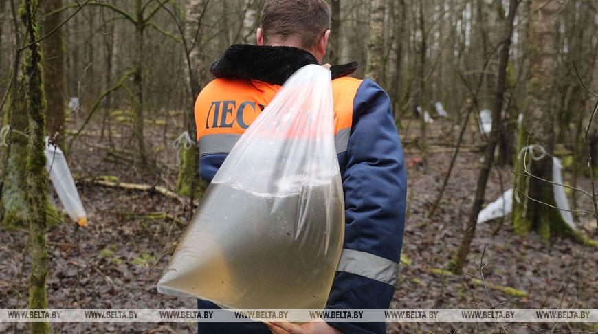 Лесхозы Беларуси собрали уже более 400 т березового сока