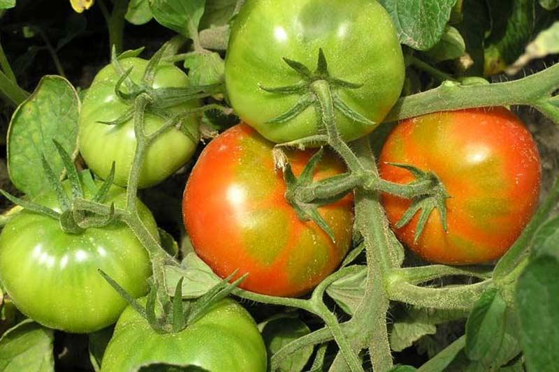 Как ускорить созревание томатов: 4 проверенных способа