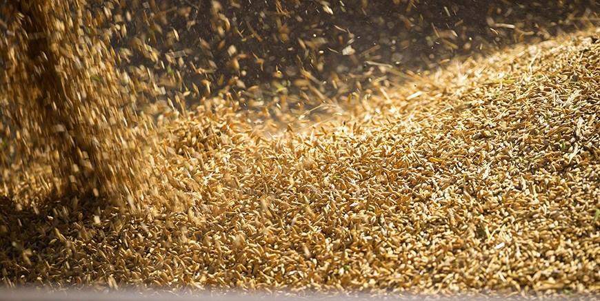 В Беларуси намолочено 3,1 млн т зерна нового урожая