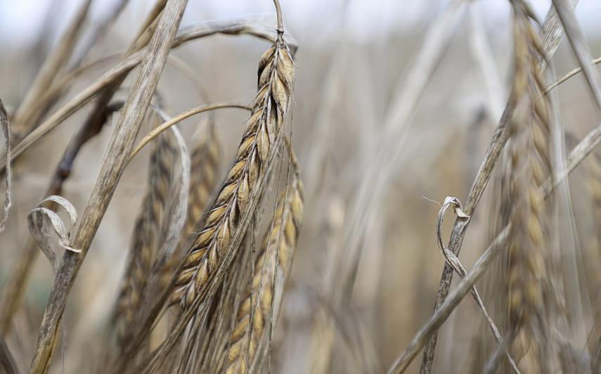 Более 5,6 млн тонн зерна намолочено в Беларуси
