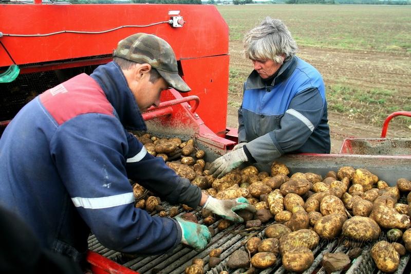 Картофель убран на 87 процентах площадей, урожайность – 286 центнеров с гектара