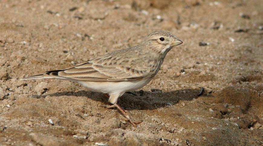 Под Новогрудком заметили новый для Беларуси вид птиц - серого жаворонка
