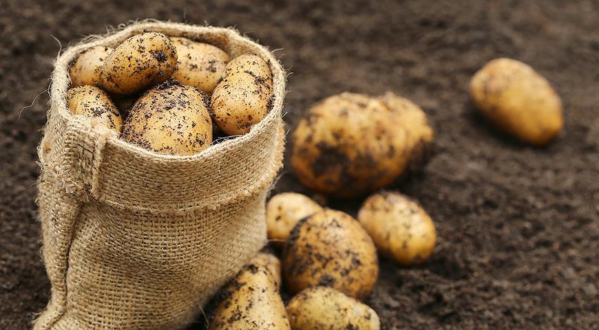 Почему сейчас не стоит торопиться с посадкой картофеля?