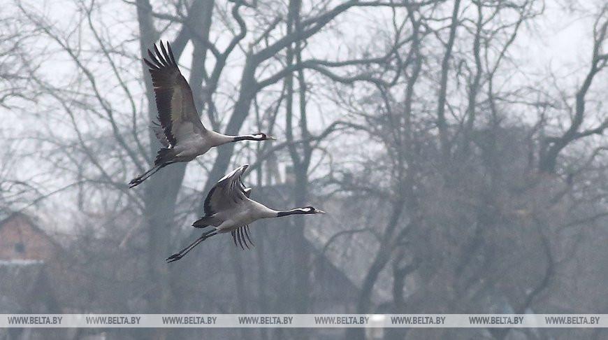 Слишком теплый январь. Перелетные птицы возвращаются в Беларусь