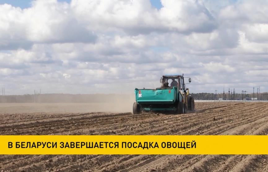 В Беларуси завершается посадка овощей
