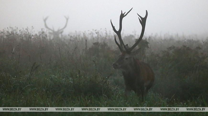 Популяция благородного оленя в Беларуси за 12 лет выросла более чем в два раза