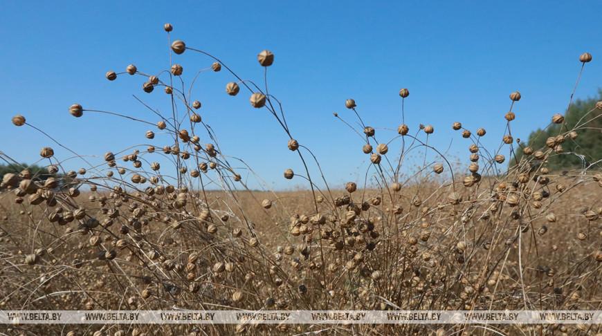 Уборка льна завершается в Беларуси
