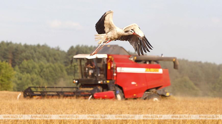 Массовая уборка зерновых завершается в Беларуси
