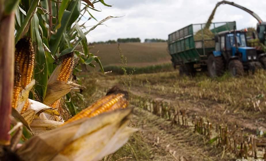 Большинство районов Гродненщины приступили к уборке кукурузы на силос