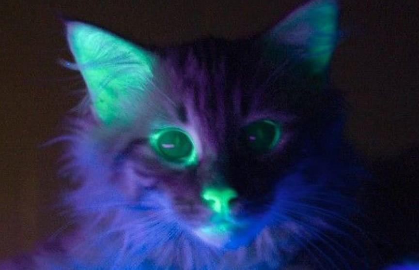 Почти аватар. Генетики вывели необычных светящихся кошек