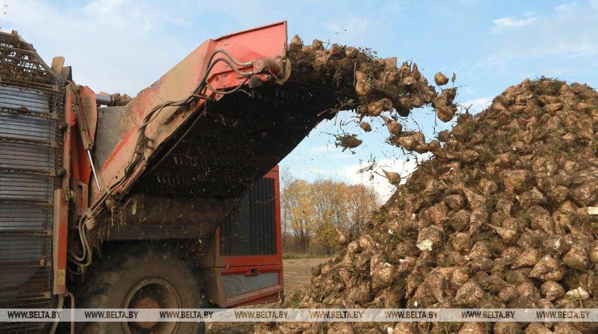 В Беларуси завершили уборку сахарной свеклы