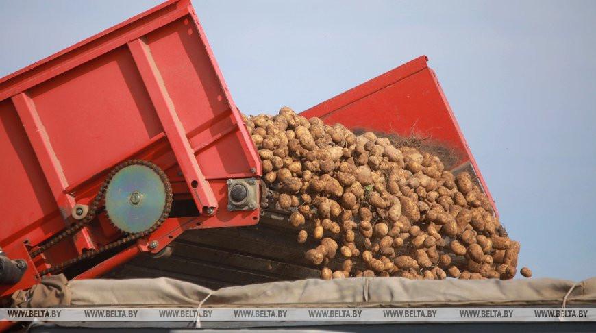 В Беларуси осталось убрать менее 18% площадей картофеля