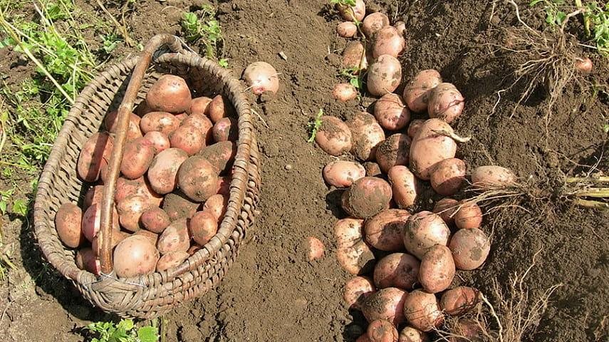 В Беларуси убран картофель