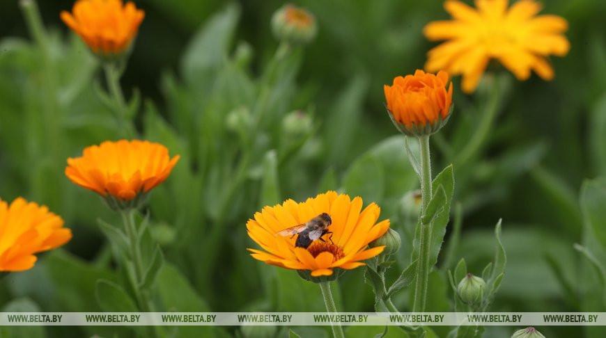 Каждый цветок снимается вручную: под Щучином начался сбор календулы