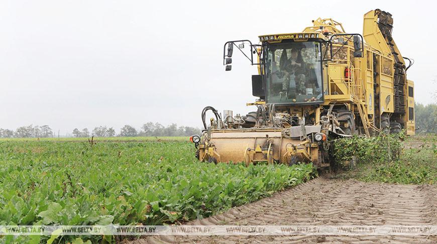В Беларуси завершается уборка сахарной свеклы