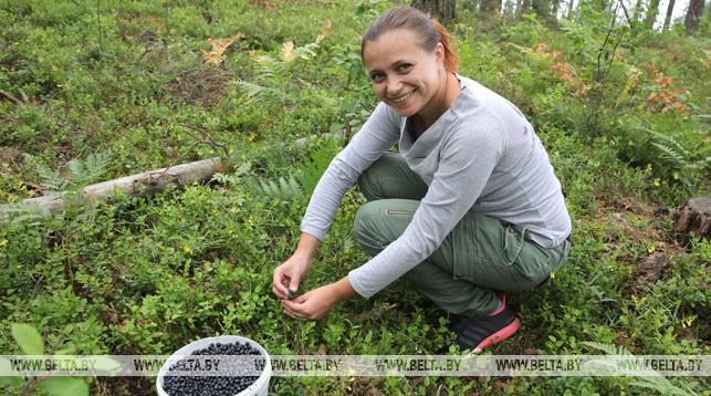 В Беларуси при сборе ягод разрешили использовать ручные комбайны