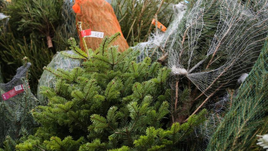 Выбираем новогоднюю елку: советы экспертов