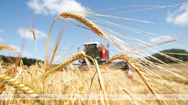 В Беларуси осталось убрать менее 9% площадей зерновых