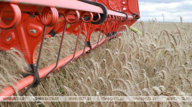 Зерновые убраны в Беларуси более чем с 50% площадей