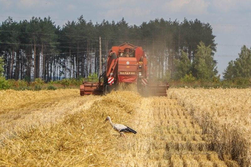 Более 3 млн т зерна намолочено в Беларуси
