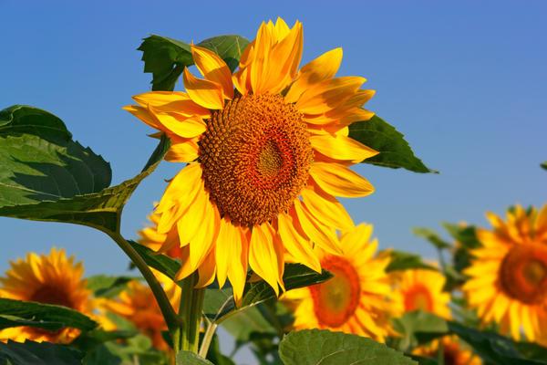 Аграрии Гродненщины расширили посевы подсолнечника и использовали кулисный способ сева