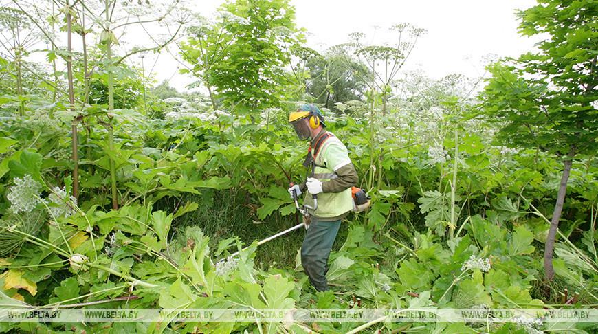 На борьбу с инвазивными растениями в Гродненской области направят Br200 тыс.