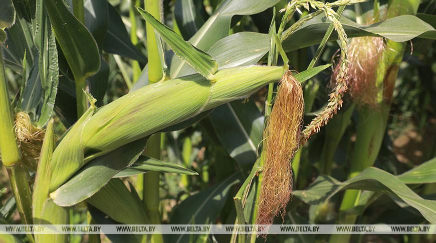 Кукуруза в Беларуси убрана с трети площадей