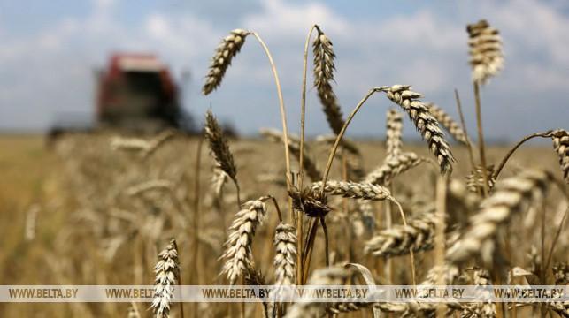 Зерновые в Беларуси убраны почти с 40% площадей