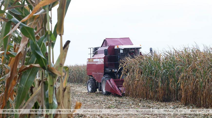 Белорусские аграрии намолотили почти 1 млн т зерна кукурузы