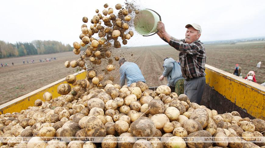 Картофель в Беларуси убран с более чем 70% площадей