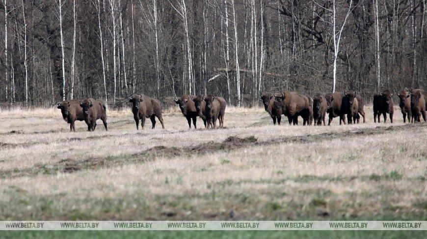 В Беларуси обитает почти четверть мировой популяции зубров