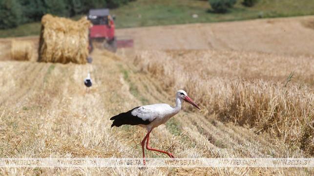 В Беларуси осталось убрать четверть площадей зерновых