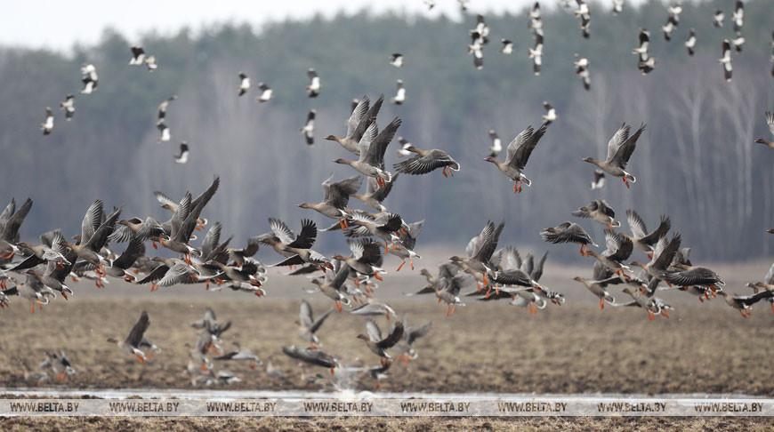 Весенняя охота на водоплавающих птиц в Беларуси начнется с 14 марта