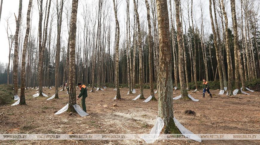 Лесхозы Беларуси заготовили около 10 тыс. т березового сока