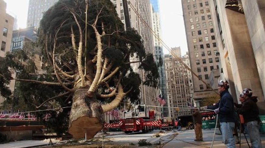 В Нью-Йорке установили живую рождественскую елку высотой 23 м