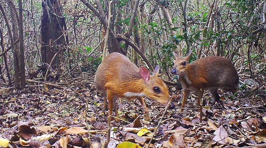 Во Вьетнаме впервые за 30 лет обнаружили крохотного мышиного оленя