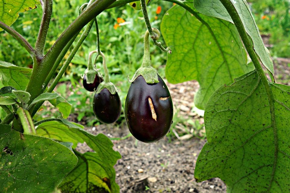 eggplant-1491949_960_720.jpg