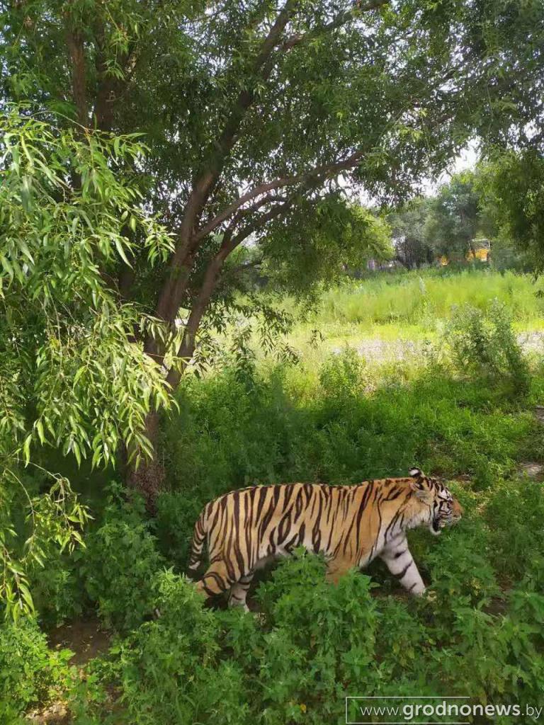 питомник амурских тигров 1.jpg