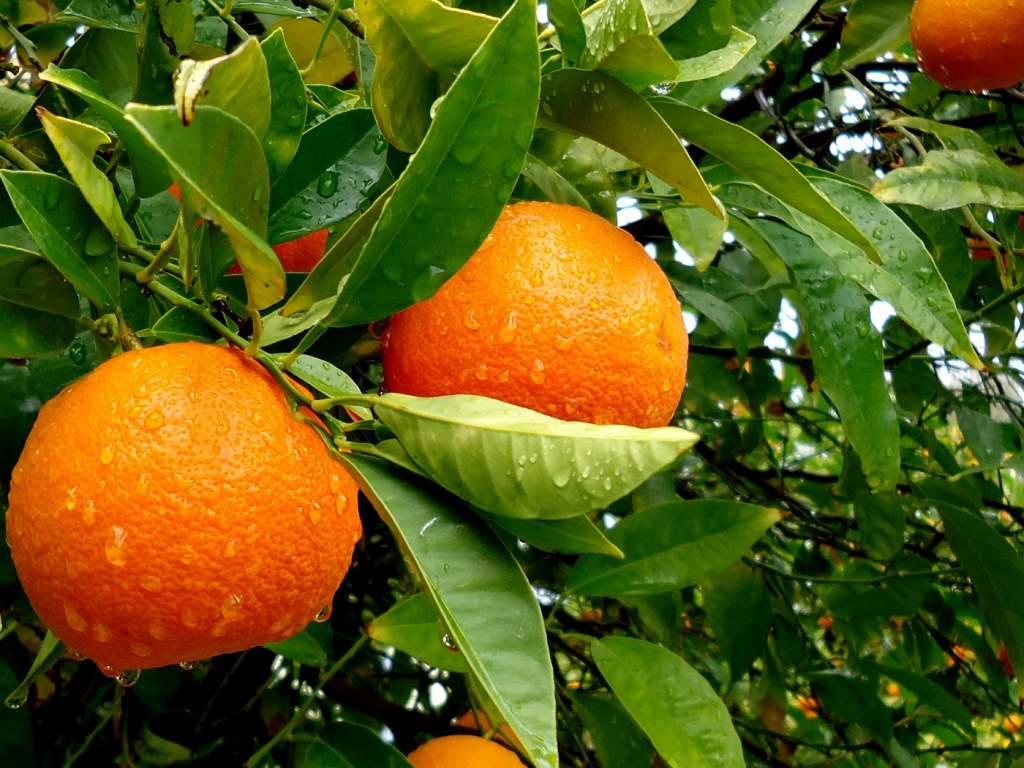 apelsin-1.jpg
