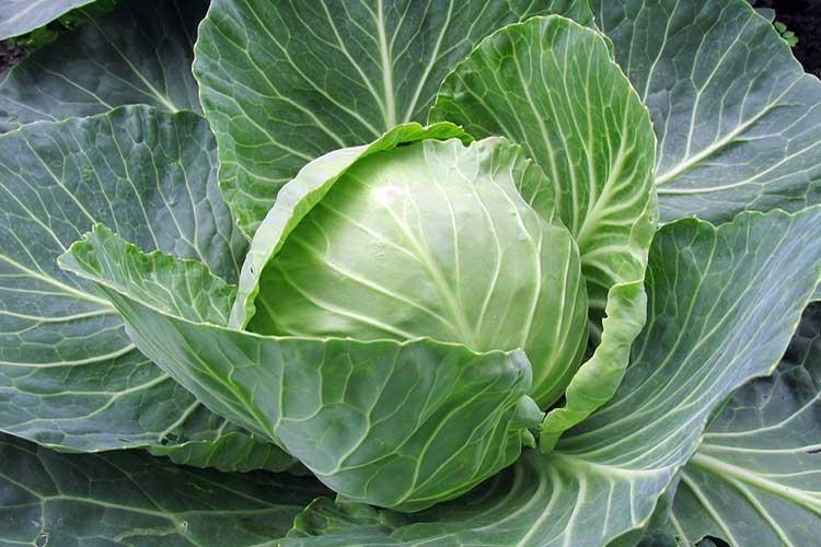 white-cabbage-big.jpg