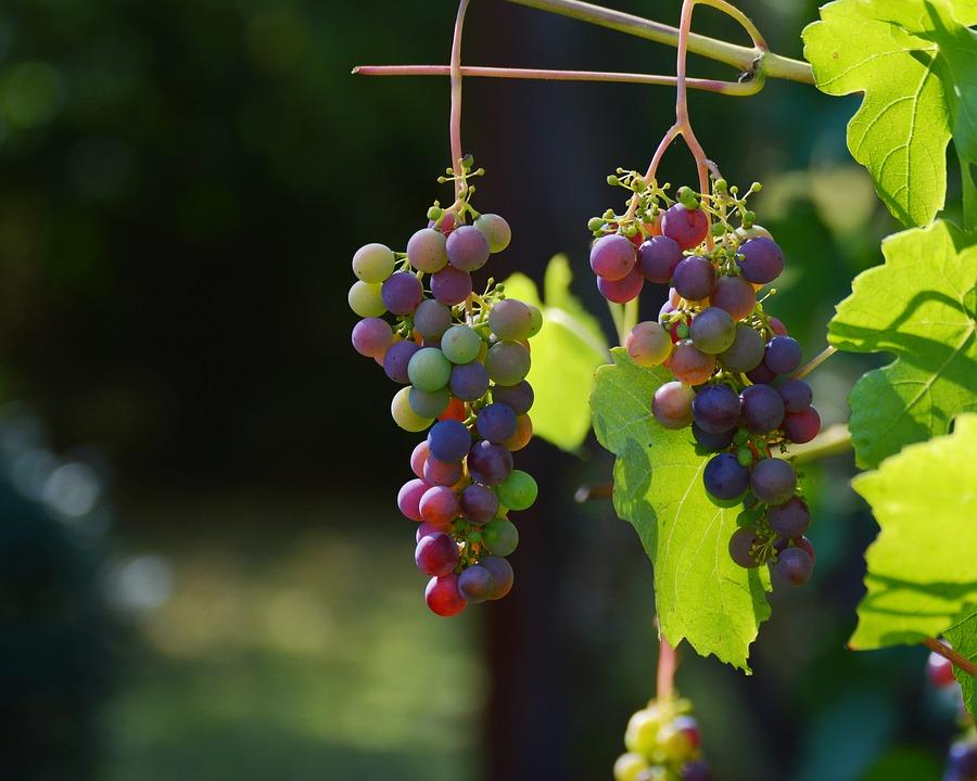 grapes-1659118_960_720.jpg