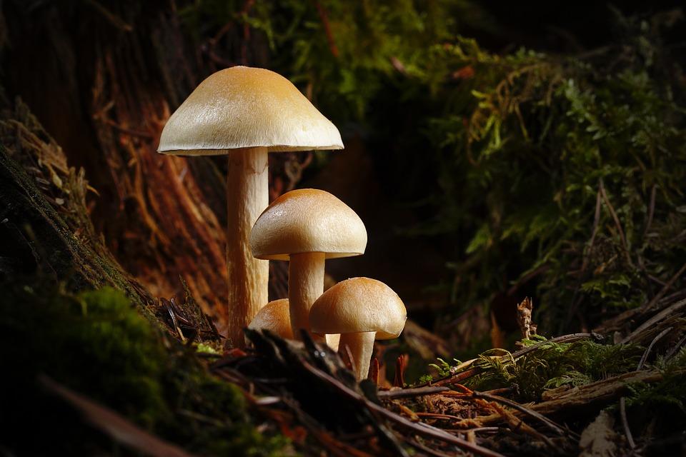 mushroom-3886466_960_720.jpg