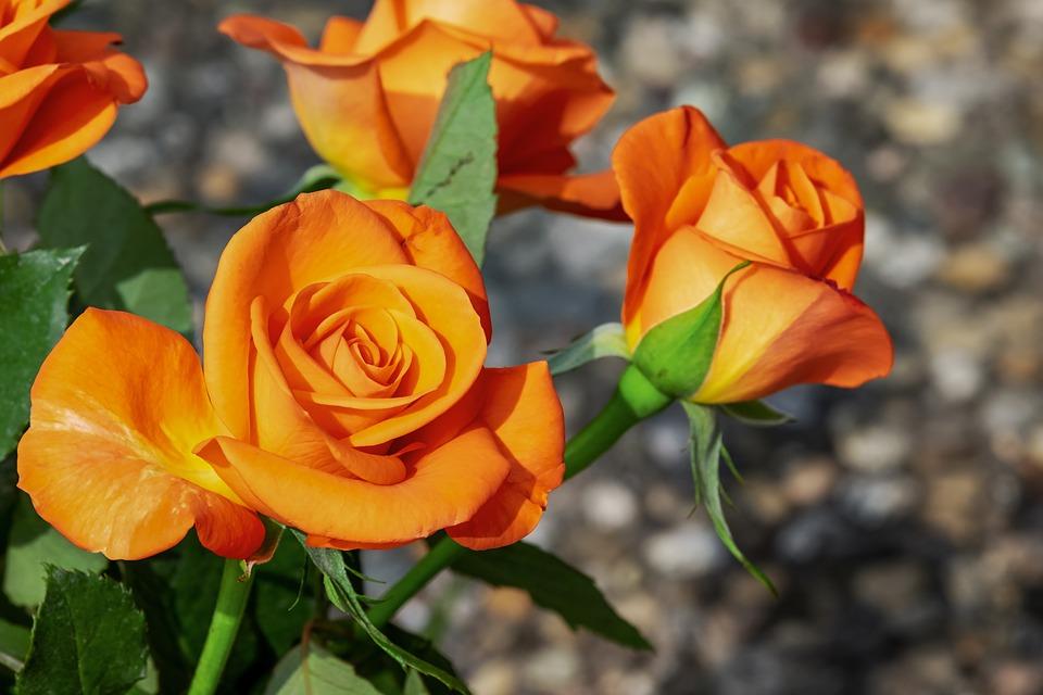roses-3419108_960_720.jpg
