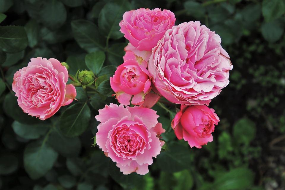 roses-3481982_960_720.jpg