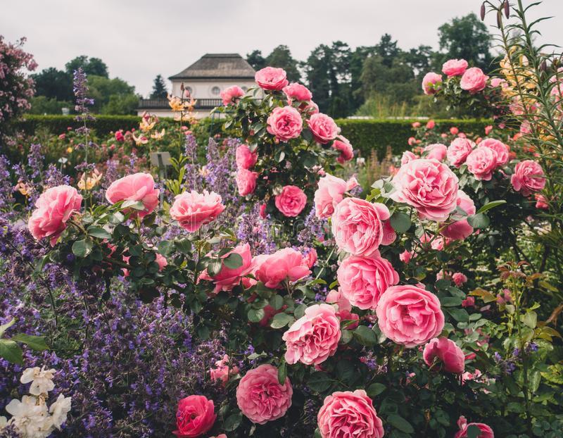 красивые-розы-и-пеонические-растения-в-саду-или-парке-с-виллой-на-150831442.jpg
