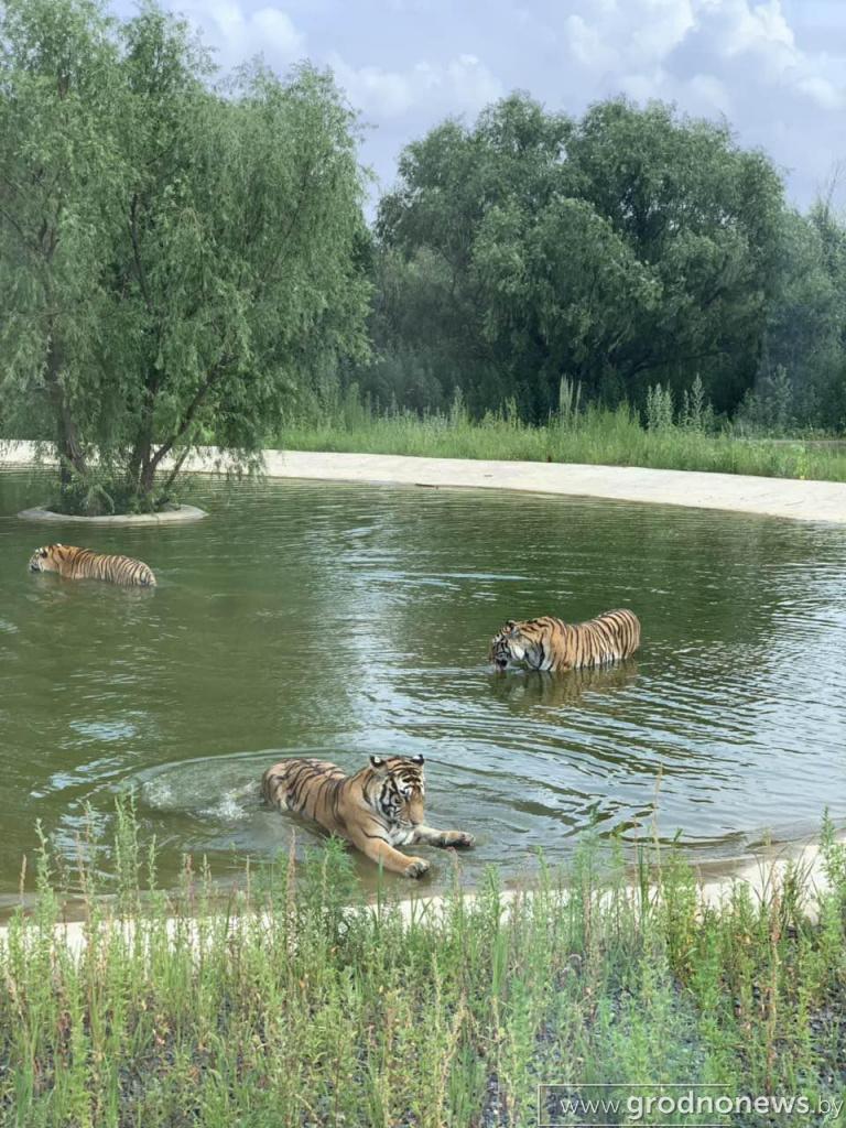 питомник амурских тигров 2.jpg