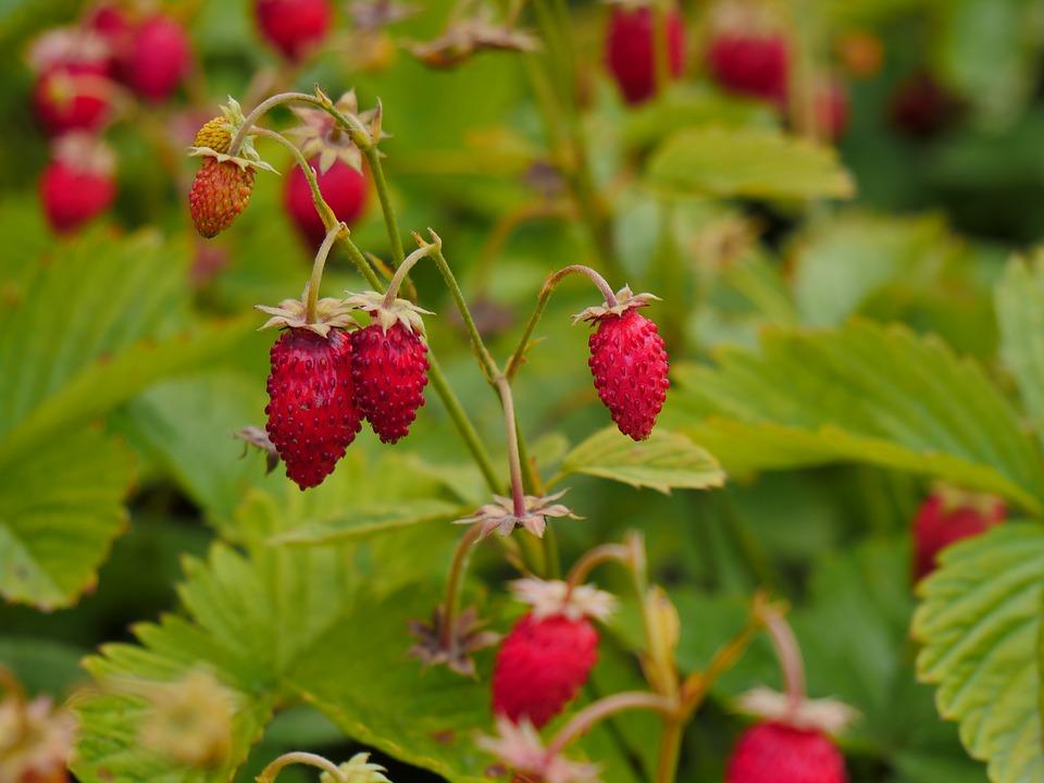 wild-strawberry-3510661_960_720.jpg