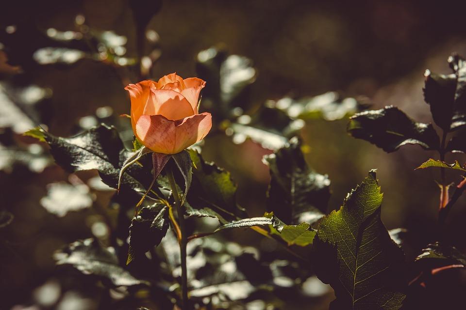 rose-3504803_960_720.jpg