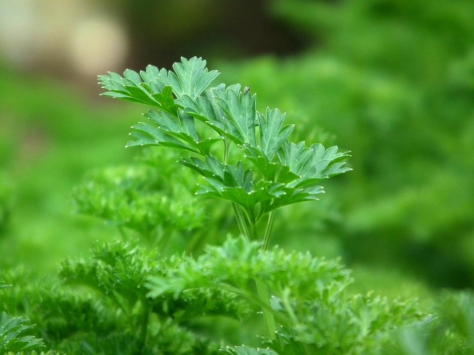 parsley-246557_960_720.jpg