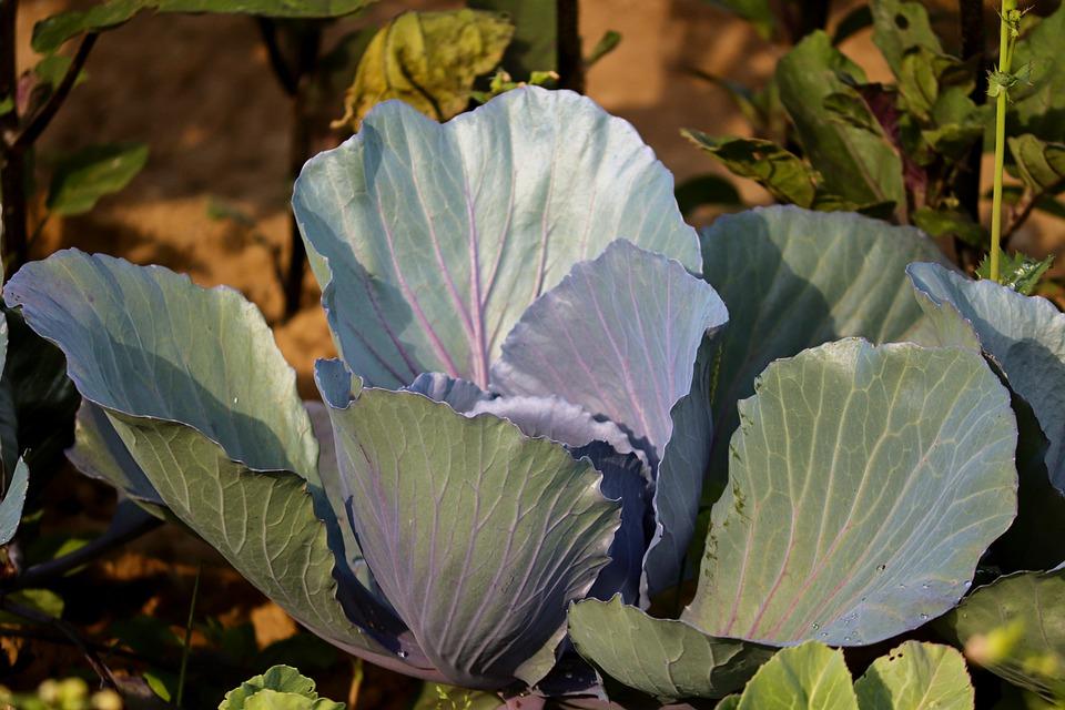 cabbage-5377992_960_720.jpg
